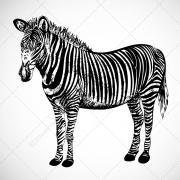 Zebra vectors