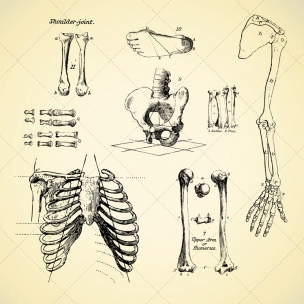 Sketch anatomy human bone vectors