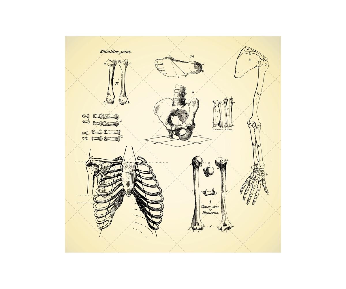 Sketch Anatomy Human Bone Vectors Human Skeleton Anatomy Vector